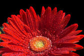 Red gerber flower — Stock fotografie