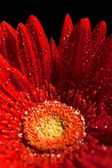 Red gerber flower — Foto Stock