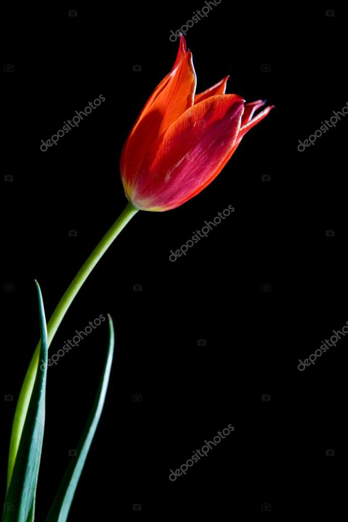 Red tulip isolated on the black background — Stock Photo #1194411