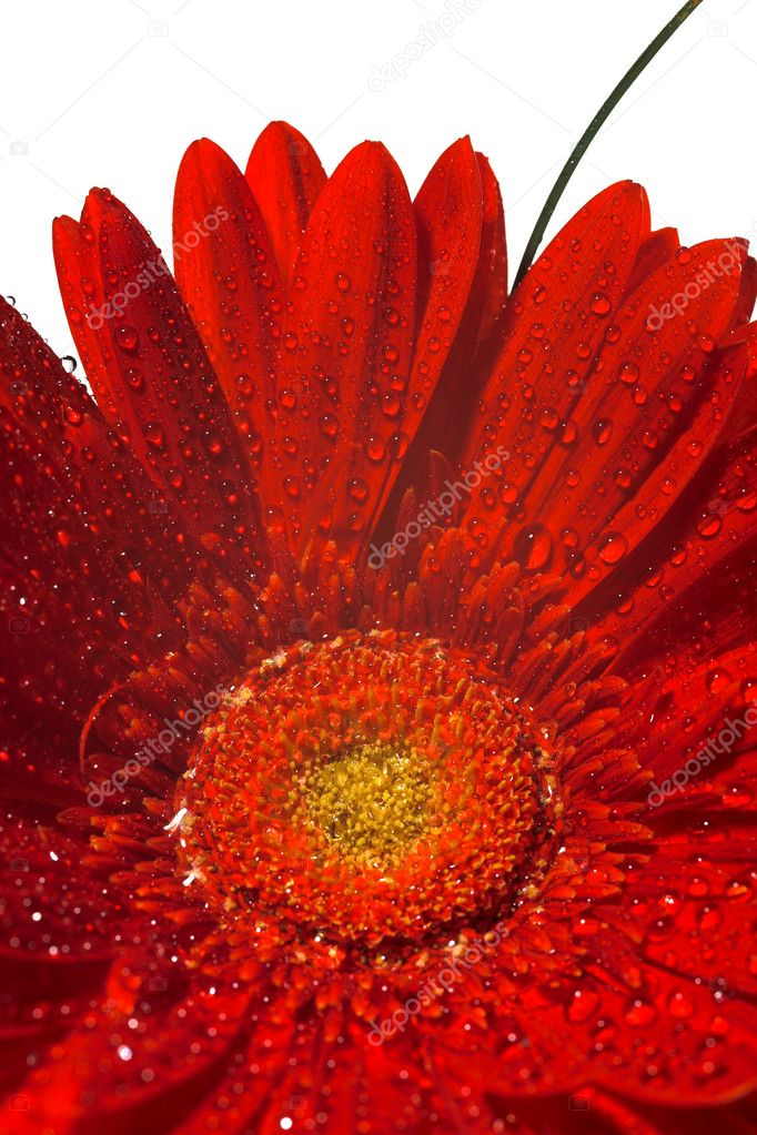 Close up photo of the red gerber flower  — Stock Photo #1198183