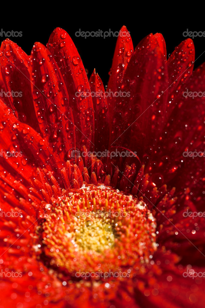 Close up photo of the red gerber flower   Stock Photo #1198199