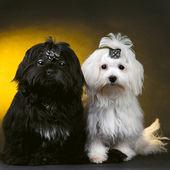 маленькие собаки — Стоковое фото