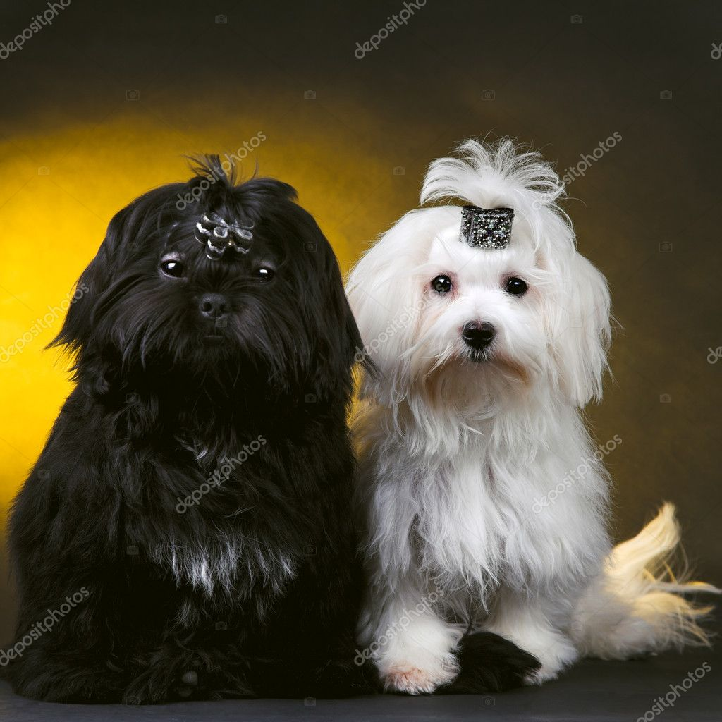Black and white small dogs — Stock Photo #1344231