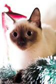 Siamese kitten — Stock Photo