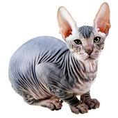 Orientaliska kattunge — Stockfoto