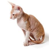 Oosterse kitten — Stockfoto