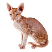 Oryantal yavru kedi — Stok fotoğraf