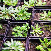 Arabidopsis — Stock Photo