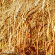 Ears of wheat — Stock Photo #1269853