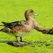 Duckling - Stock Photo