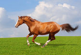 Sorrel trakehner stallion — Stock Photo