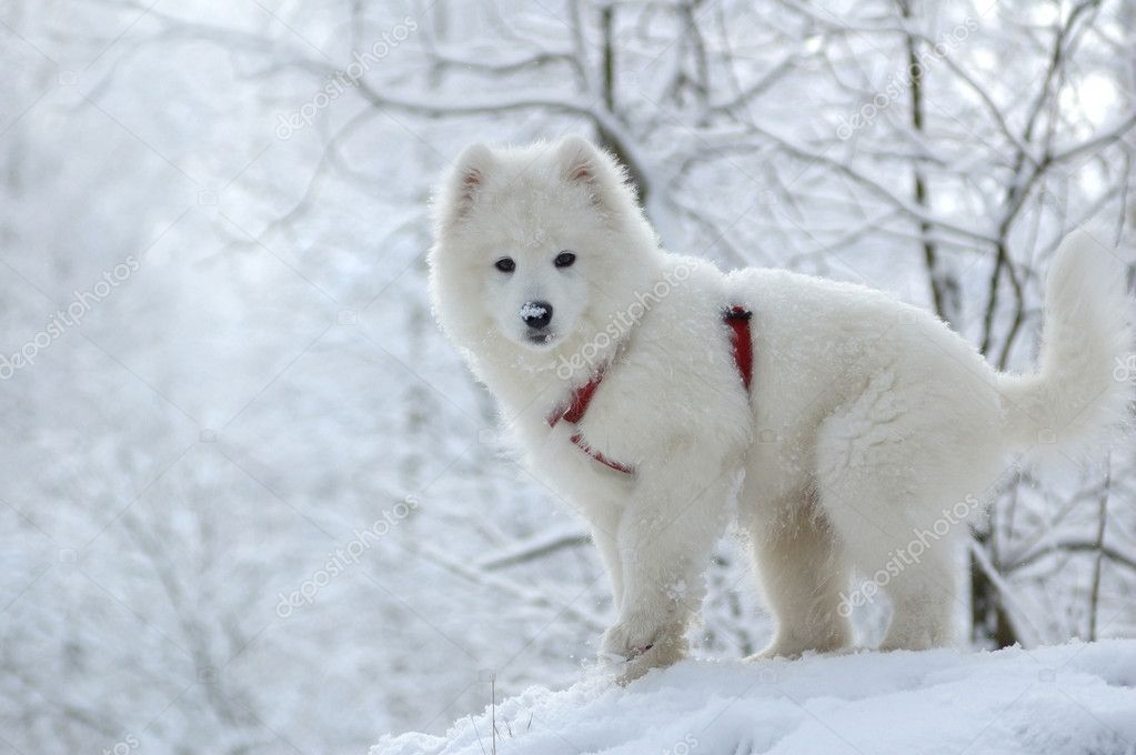 Samoyed dog | Stock Photo © Kseniya Abramova #1217085