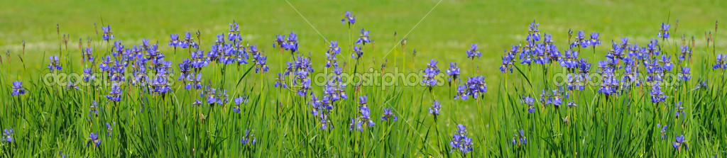 Blue iris on green background — Stock Photo #1217811