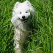 The samoyed dog — Stock Photo #1251104