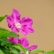 Pink clematis — Stock Photo