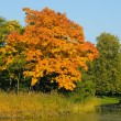 Golden maple - Stock Photo