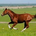 Sorrel stallion - Stock Photo