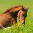 Sorrel foal — Stock Photo