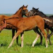 Foals in field — Stock Photo #1252562