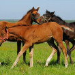 Foals in field — Stock Photo