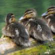 Three duckling — Stock Photo