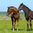 Two foals — Stock Photo #1253144