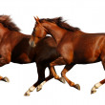 Budenny horses gallop — Stock Photo #1256359