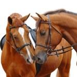 Two sorrel horses — Stock Photo