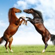 Battle horses — Stock Photo