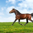 Hanoverian horse trots - Stock Photo