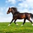 Arabian horse trots — Stock Photo