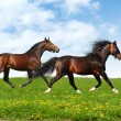 Stock Photo: Two stallions trot