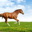 Sorrel trakehner foal gallops — Stock Photo #1256700