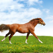 Sorrel trakehner foal gallops - Stock Photo