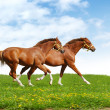 Stock Photo: Two foals gallop
