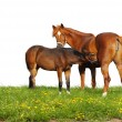 Stock Photo: Foal and mare in a field