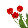 Red tulip — Foto de Stock
