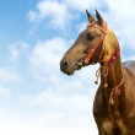 Akhal-teke stallion — Stock Photo #1259057