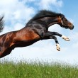 Arabian stallion jumps — Stock Photo