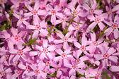 Roze bloemen — Stockfoto