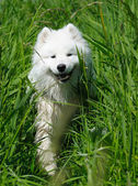 The samoyed dog — Stock Photo