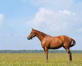 The sorrel horse — Stockfoto