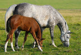 Mare and foal — Foto Stock