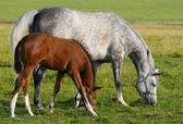 égua e potro — Foto Stock