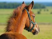 Chestnut trakehner foal — Stock Photo