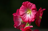 Red mallow — Stock Photo