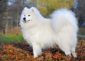 Samoyed dog — Stockfoto