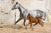 égua e potro pequeno — Foto Stock