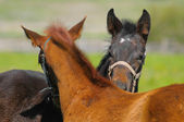 Two foals — Stock Photo