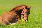 Sorrel foal — Stock Photo